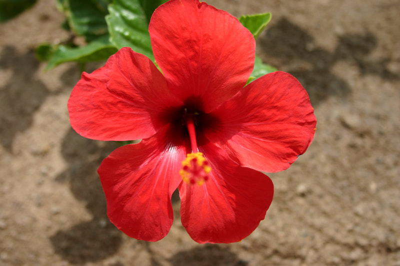 red flower in Cape Verde